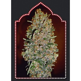 Semillas Automatik Collection 1 de 00 Seeds
