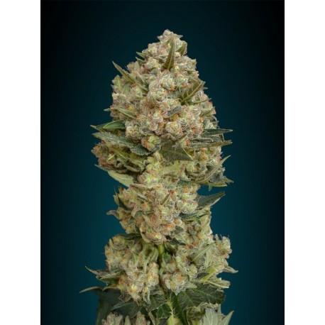 Semillas de marihuana Critical de Advanced Seeds