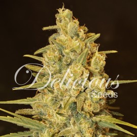 Semillas Critical Sensi Star
