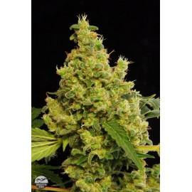 Semillas de marihuana Blue Hash