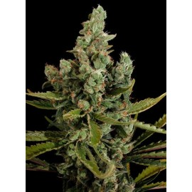 Semillas Cheese de Dinafem Seeds