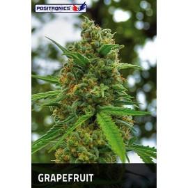Semillas feminizadas Grapefruit