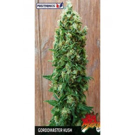 Gordo Master Kush (6 semillas + CD)