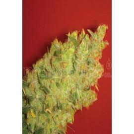 Semillas de marihuana Jack Lamota