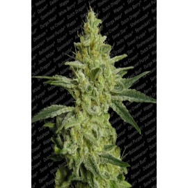Semillas de cannabis Allkush de Paradise Seeds