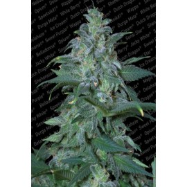 Magic Bud (3 semillas)
