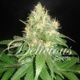 Semillas Northern Light Blue de Delicious Seeds