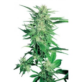 Semillas Big Bud De Sensi Seeds