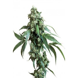 Semillas Jack Flash 5 de Sensi Seeds