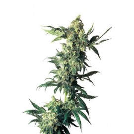 Semillas Northern Light de Sensi Seeds