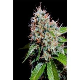 Semillas de marihuana Zuri Widow