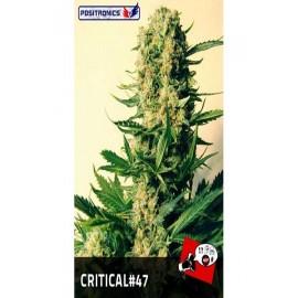 Semillas de maria Critical 47