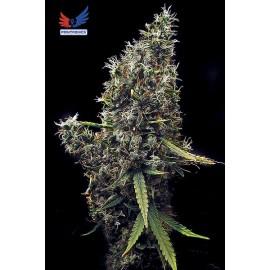 Semillas de marihuana sativa Cum Laude