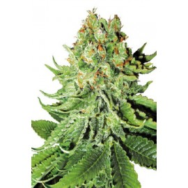 Northern Light Automatic de Sensi Seeds
