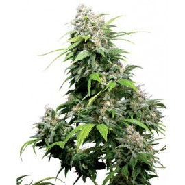 California Indica 10 semillas regulares