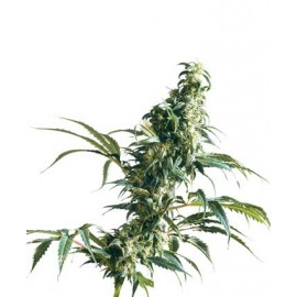 Mexican Sativa 10 semillas regulares