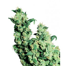 Jack Herer 10 semillas regulares