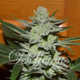Semillas Desconocida Kush de Delicious Seeds