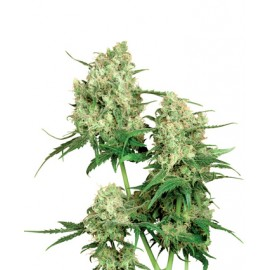 Maple Leaf Indica, 10 semillas regulares