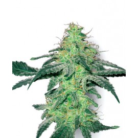 White Skunk (3 semillas) de White Label