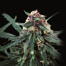 Auto Purple de Pyramid Seeds