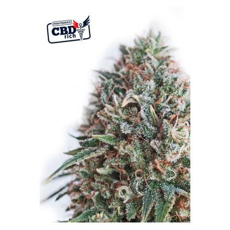 CBD Ctical 47 (5 semillas)