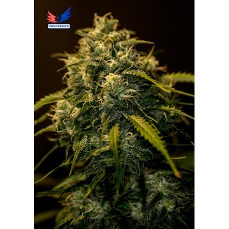 CBD Jack Diesel (5 semillas)