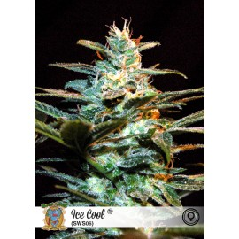 Semillas de marihuana Ice Cool