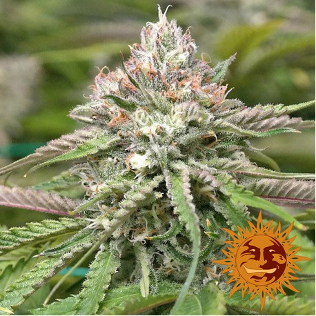 Semillas de marihuana Peyote Critical