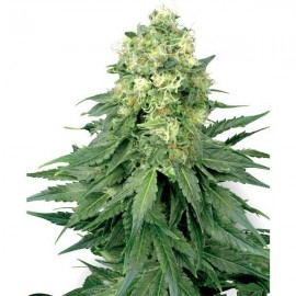 White Widow de White Label