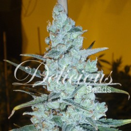 Semillas Critical Jack Herer