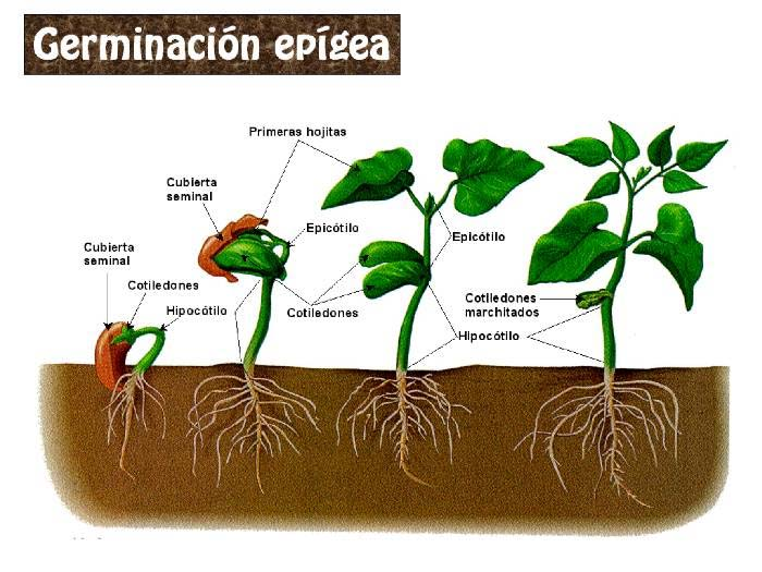 Horticultura del cannabis o marihuana Semillalandia.com