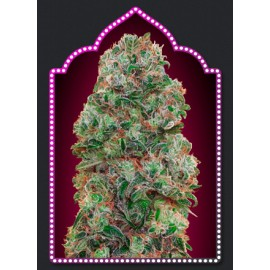 Semillas Buble Gum de 00 Seeds