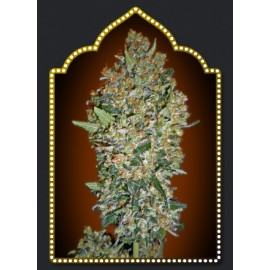 Semillas Cheese Berry de 00 Seeds