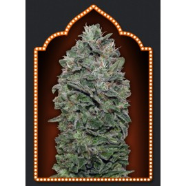 Semillas Sweet Soma d 00 Seeds