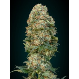 Semilas Afgan Skunk de Advanced Seeds