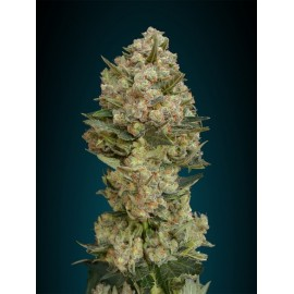 Semillas de marihuana Critical de Advanced Seeds