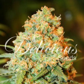 Semillas Critical Super Silver Haze