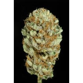 Semillas de marihuana Blue Kush