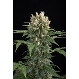 Semillas Blue Thai de Dinafem Seeds