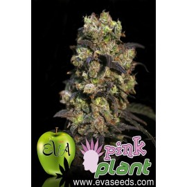 Semillas Pink Plant