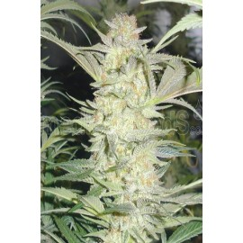 Semillas de maria White Widow