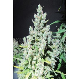 Semillas feminizadas Malakoff de Medical Seeds