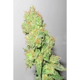 Semillas de cannabis Y Gryega CBD