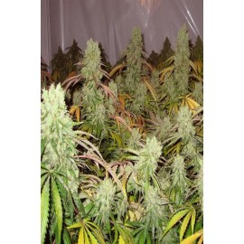 Semillas feminizadas Ice Cream de Paradise Seeds