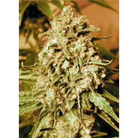 Semillas Somango Widow de Advanced Seeds