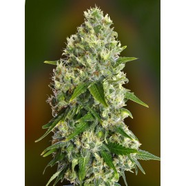 Semillas Critical Soma de Advanced Seeds