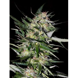 Semillas Jack Plant de Advanced Seeds