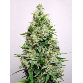 Semillas Kali 47 de Advanced Seeds