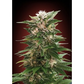 Semillas Kaya 47 de Advanced Seeds